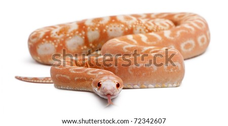 Scaleless Corn Snake, Pantherophis Guttatus, in front of white background - stock photo