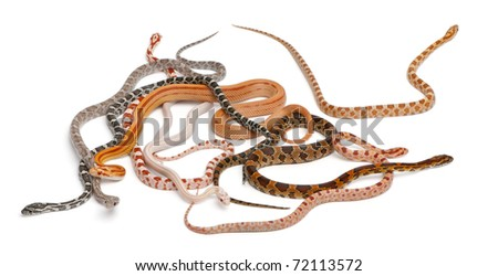 Scaleless Corn Snakes, Pantherophis Guttatus, in front of white background - stock photo