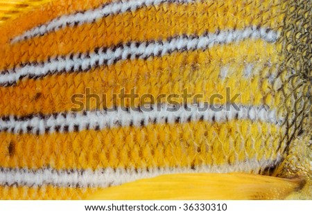 Scales of a goldfish as a textures - stock photo