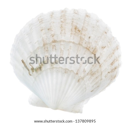 scallop fan shell isolated on white