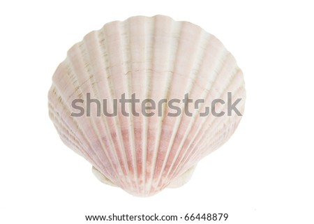 Scallop Seashell on White Background - stock photo