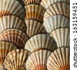 Scallop Shells Background / Background with many overlapping scallop shells with shadows - stock photo