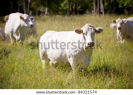 Scandinavian white cow on a field