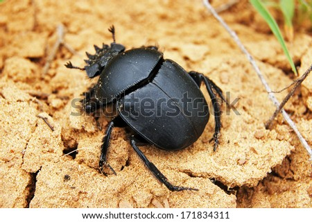 Scarab creeping on sand - stock photo