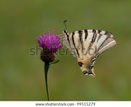 Scarce Swallowtail Butterfly - Iphiclides podalirius resting on a purple flower in a soft background - stock photo