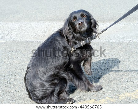 Scared, afraid pet dog. Hates vet, veterinarian. Pleading eyes. Fear, phobia? - stock photo
