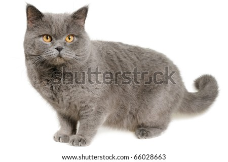Scared British cat stands and looks slightly to the right, isolated on white.