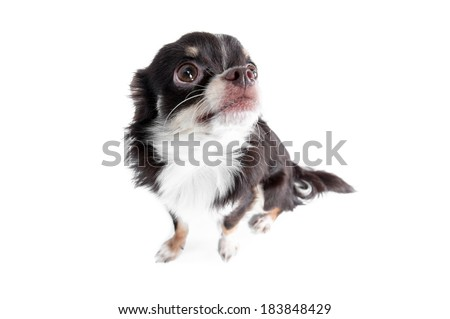 Scared chihuahua isolated on white background - stock photo