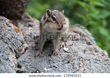 Scared chipmunk stands on the stone and looking warily into the distance. - stock photo