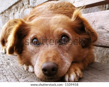 Scared dog face - stock photo