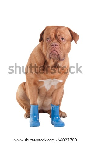 Scared dogue de bordeaux with blue rubber boots - stock photo