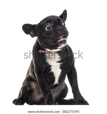 Scared dumb French Bulldog sitting and making a face, isolated on white (1 year old) - stock photo