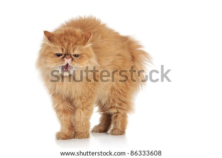 Scared Ginger Persian cat on a white background