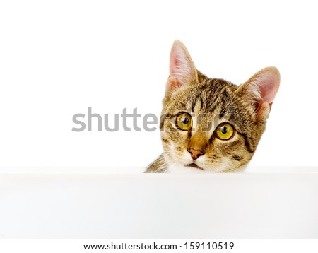 scared kitten looking out because of the poster. isolated on white background - stock photo