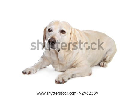 scared labrador dog in front of a white background - stock photo