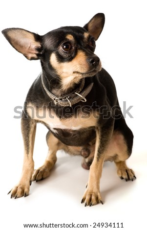 scared  toy terrier isolated on white - stock photo