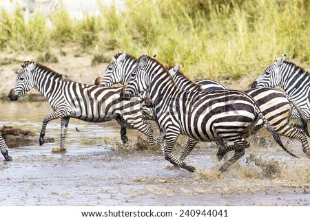 Scared zebras trots in the water - stock photo