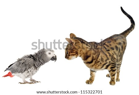 scaring African Grey Parrot and bengal cat in front of white background - stock photo