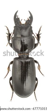 Scarites eurytus (ground beetle) isolated on a white background. - stock photo