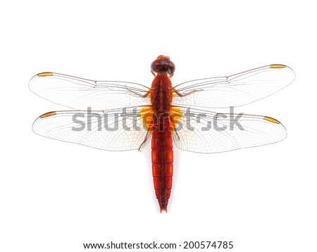 Scarlet Dragonfly (Crocothemis erythraea) isolated on white  - stock photo