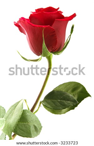scarlet flowering rose with a bright green foliage on a white background