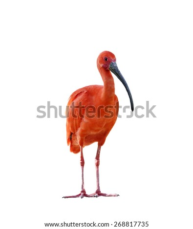Scarlet Ibis Isolated On White Background - stock photo