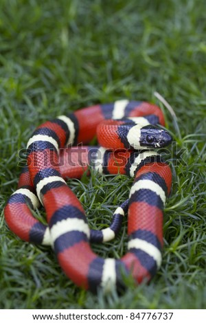 Scarlet King Snake Coiled Ready to Strike - stock photo
