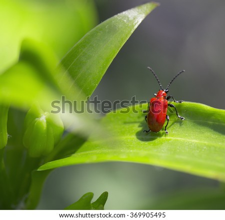 Scarlet lily beetle, Lilioceris lilii on the leaf - stock photo