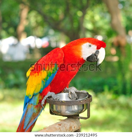 Scarlet Macaw (Ara macao), a large South American parrot  - stock photo