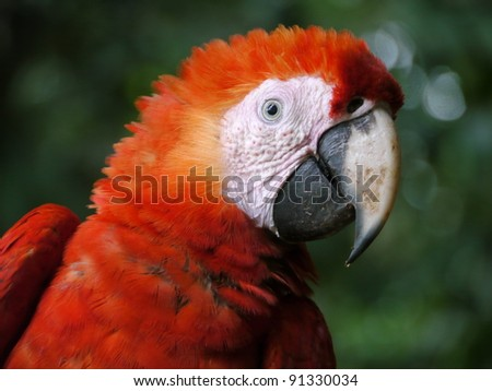 Scarlet Macaw (ara macaw) face close up