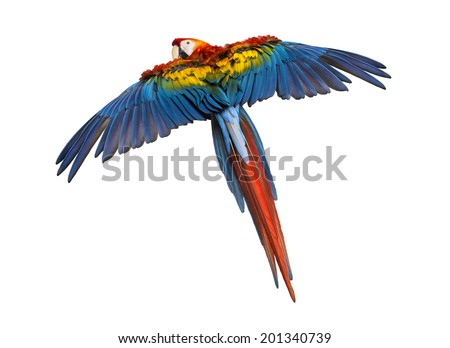 Scarlet Macaw flying (4 years old), isolated on white - stock photo