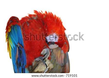 Scarlet Macaw on white background
