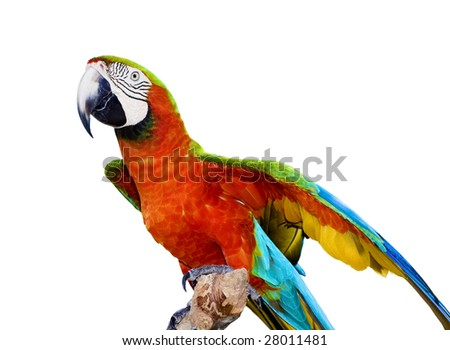 Scarlet Macaw Parrot Isolated - stock photo