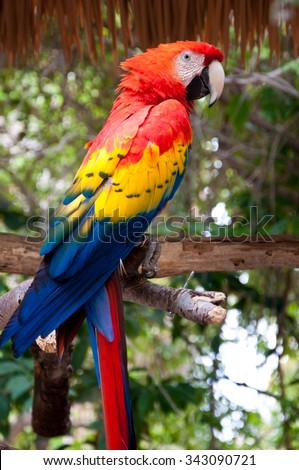 Scarlet Macaw parrot perched on a tree in a jungle environment.