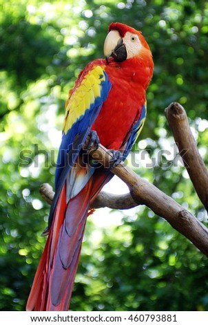 Scarlet macaw (Ramphastos sulfuratus) on a perch at a bird park in Copan, Honduras