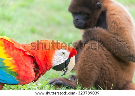 Scarlet Macaw with a Woolly Monkey in the Amazon near Iquitos, Peru - stock photo