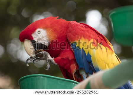 Scarlet Macaw with red, blue and yellow coloring perched at a local plaza in Encinitas California