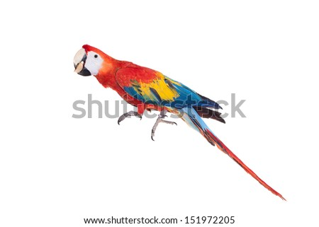Scarlet macaws (Ara macao) eating on the white background - stock photo