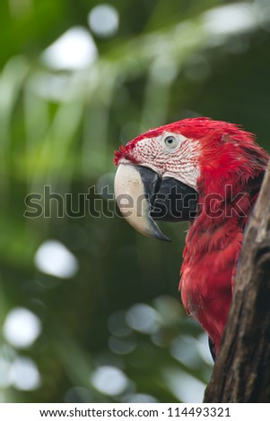 Scarlet macaws bird perched on a tree