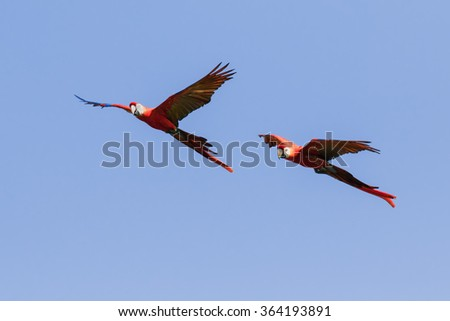 Scarlet macaws crossing a clear  blue sky. Two stunning scarlet macaws make their way across a clear blue sky. - stock photo