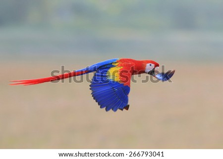 scarlet macaws flying - stock photo