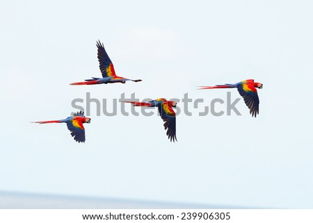 scarlet macaws flying near drake bay, corcovado national park, puntarenas, costa rica. flock of colorful bird parrots
