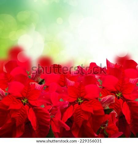 scarlet poinsettia flower or christmas star isolated in green garden  - stock photo