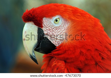 Scarlet red Macaw