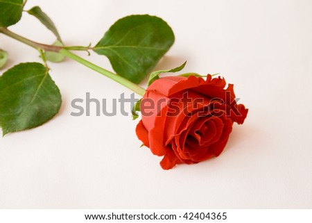 Scarlet rose on a white background