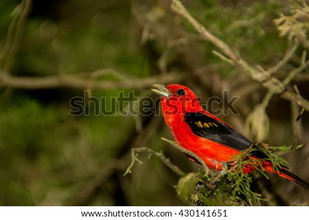 Scarlet Tanager - stock photo