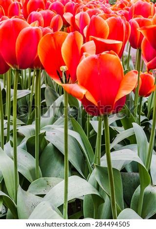 scarlet tulips in park Keukenhof flower garden, Holland, Netherlands - stock photo