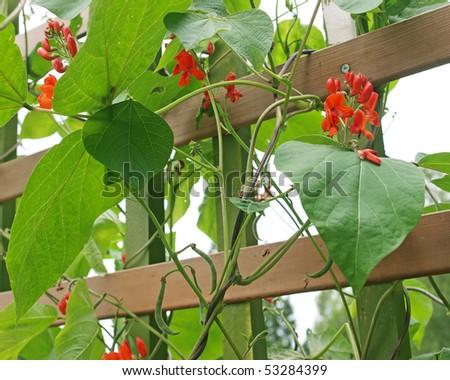 Scarlett runner bean flowers - stock photo