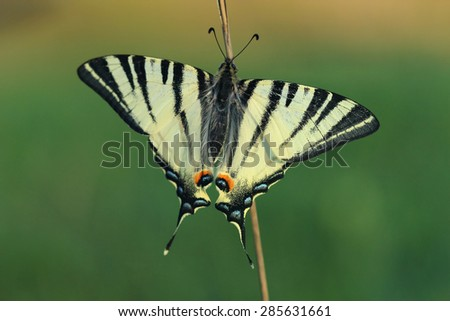 Scarse swallowtail ( Iphiclides podalirius) sitting on dry grass. Closeup - stock photo