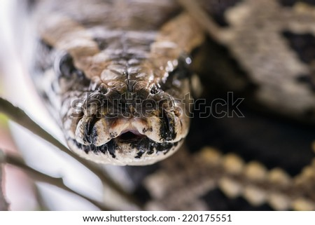 Scary and dangerous snake sitting on a tree. Close-up of a boa constrictor snake head - stock photo